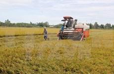 2015年越南水稻总产量约达4520万吨增加20万吨