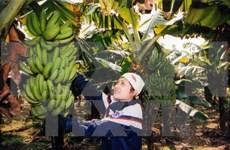 越南兴安省快州香蕉获得集体商标保护证书