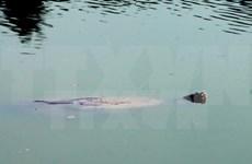 越南还剑湖巨龟尸体被送到越南自然博物馆