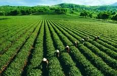 河江省力争使茶树成为尖端农作物