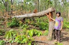 逾8.9万亿越盾投入恢复与发展西原地区森林