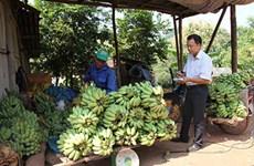 莱州省霍隆边境乡农民靠种植香蕉脱贫