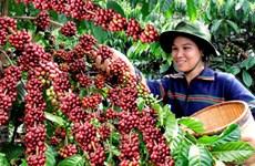 收获前夕西原地区咖啡豆价格猛增
