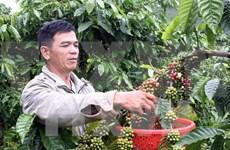 越南林同省在日本推介阿拉比卡咖啡