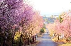 第一次大叻樱花节将于明年1月中旬举行