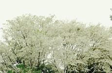 黄檀花盛开 像雪一样覆盖着首都河内多条路(组图)