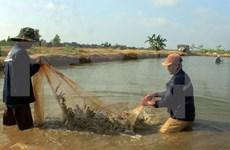 越南九龙江平原努力实现虾类养殖业可持续发展目标