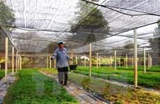 JICA为在越南平顺省的日本薄荷种植项目提供支持