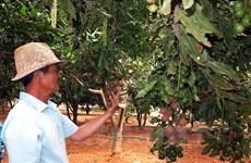 越南与澳大利亚加强合作推动坚果业发展