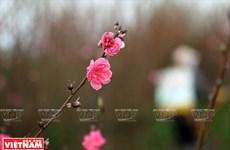 日新桃花复种季节