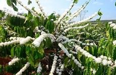嘉莱省春天灿烂的咖啡花色