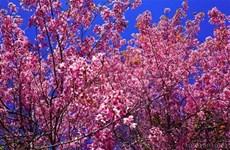 大叻城梅樱桃花盛开 喜迎春天