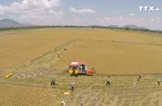22家越南企业获得向中国出口大米许可
