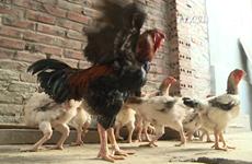 京北地区享有盛名的胡镇贡鸡