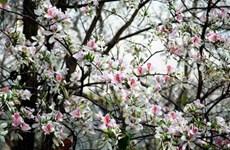 探索西北地区的特殊花卉——羊蹄甲花