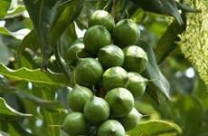 西原地区对扩大坚果种植面积持慎重态度