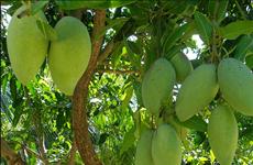 越南芒果正式获准出口美国市场