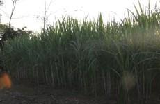 清化省制糖工匠日夜制糖   努力为春节供货