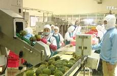 果农自行打破生产计划  菠萝丰收灾再次上演