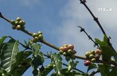嘉来省努力提高咖啡树价值