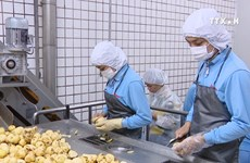 国内加工专用薯产量低   企业原料60%靠进口