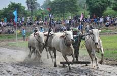 第25次七山赛牛节公开赛在安江省举行