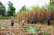 越南北部地区省份努力促进甘蔗产业可持续发展