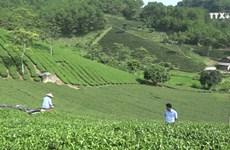 茶叶种植业协助谅山省居民脱贫致富