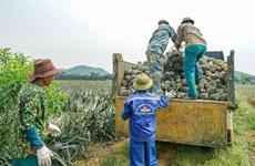 组图:同交农场的菠萝加工出口流程的情景
