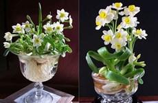 养护水仙花给河内带来快乐春节