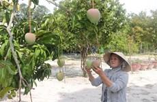 庆和省甘林县芒果恢复出口活动