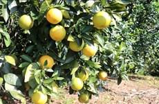 广治省:有机橙子种植模式带动农民脱贫致富