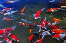 胡志明市观赏鱼出口到世界46个市场