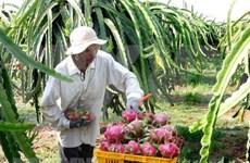 越南的火龙果出口潜力巨大