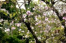 西北地区独特花种——羊蹄甲花在河内怒放