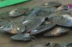 北江省养殖户成功展开珍珠淡水养殖模式
