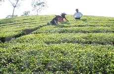 富寿省努力为茶叶产品申请品牌认证