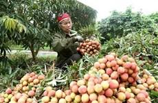 在疫情背景下北江省努力为荔枝收获期做好准备