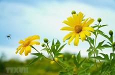 组图: 奠边省山区一片黄色的钟炳菊花海