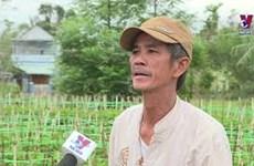 岘港市花农忙碌为春节的鲜花供应做好准备
