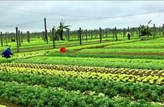 承天顺化省农民着手恢复生产   做好春节蔬果供应准备