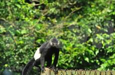 河南省努力保护白臀叶猴群