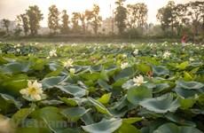 """组图:首都河内拥有近 170 个""""独特""""品种的美丽莲花池"""