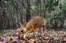 越南发现疑似已经灭绝的世界上最小偶蹄动物(组图)