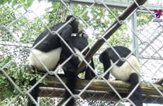 宁平省将德氏乌叶猴释放回野外