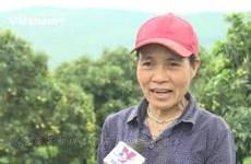 在山上种植荔枝20年后 陆岸县农民首次尝到甜头