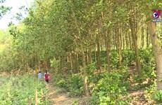 奠边省统筹推进森林保护与林业经济协调发展