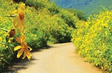 肿柄菊花季成为吸引游客来奠边省游览的亮点