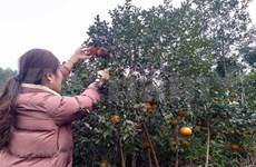 补橙子——香山山区的主要农产品
