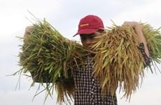 富安省夏秋水稻进入收割季节(组图)
